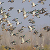 Mallards and Northern Pintail <br /> Clarence Cannon National Wildlife Refuge