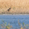 Northern Harrier <br /> This was a little spec on the far shore. <br /> Even with 2240mm had to extremely crop to identify.<br /> Clarence Cannon National Wildlife Refuge