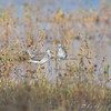 Yellowlegs sp. <br /> Clarence Cannon National Wildlife Refuge