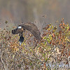 Northern Harrier <br /> Clarence Cannon National Wildlife Refuge