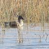 Northern Shoveler <br /> Clarence Cannon National Wildlife Refuge