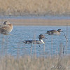 Northern Pintail <br /> Clarence Cannon National Wildlife Refuge