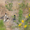 Mallard, Northern Pintail and Green-winged Teal <br /> Clarence Cannon National Wildlife Refuge