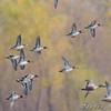 Green-winged Teal and Northern Shoveler <br /> Clarence Cannon National Wildlife Refuge