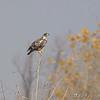 Bald Eagle <br /> Clarence Cannon National Wildlife Refuge