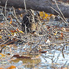 Wilson's Snipe  <br /> Clarence Cannon National Wildlife Refuge