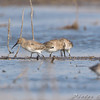 Dunlin <br /> Clarence Cannon National Wildlife Refuge <br /> <br /> No. 219 on my Lifetime List of Bird Species <br /> Photographed in Missouri