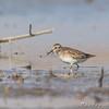 Least Sandpiper <br /> Clarence Cannon National Wildlife Refuge