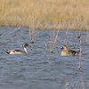 Northern Pintails <br /> Clarence Cannon National Wildlife Refuge