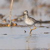 Lesser Yellowlegs <br /> Clarence Cannon National Wildlife Refuge