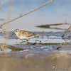 Least Sandpipers <br /> Clarence Cannon National Wildlife Refuge