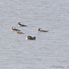 Hooded Mergansers <br /> Teal Pond <br /> Riverlands Migratory Bird Sanctuary