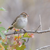 Immature White-crowned Sparrow <br /> Riverlands Migratory Bird Sanctuary