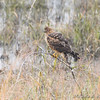 Northern Harrier <br /> In front of Heron Pond <br /> Riverlands Migratory Bird Sanctuary