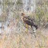 Northern Harrier <br /> In front of Heron Pond <br /> Riverlands Migratory Bird Sanctuary