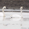 Tundra Swan on right <br /> and Trumpeter Swan<br /> Cora Island Road<br /> Just south of RMBS