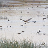 Northern Harrier <br /> over Heron Pond <br /> Riverlands Migratory Bird Sanctuary