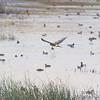 Northern Harrier <br /> over Heron Pond <br /> Riverlands Migratory Bird Sanctuary