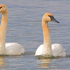 Trumpeter Swans <br /> Teal Pond <br /> Riverlands Migratory Bird Sanctuary
