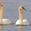 Trumpeter Swans <br /> Teal Pond <br /> Riverlands Migratory Bird Sanctuary