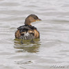 Pied-billed Grebe <br /> Riverlands Migratory Bird Sanctuary