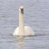 Trumpeter Swan <br /> Teal Pond <br /> Riverlands Migratory Bird Sanctuary