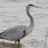Great Blue Heron <br /> Riverlands Migratory Bird Sanctuary