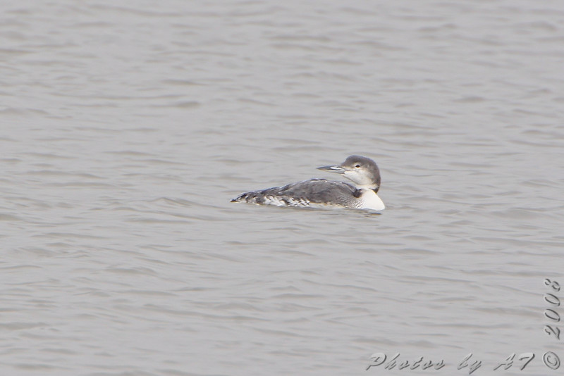 Common Loon <br /> Riverlands Migratory Bird Sanctuary