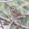 Swamp Sparrow <br /> Riverlands Migratory Bird Sanctuary