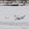 Bonaparte's Gull at left <br /> Riverlands Migratory Bird Sanctuary