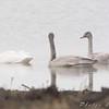 Trumpeter Swan <br /> Cora Island Road