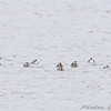 Ruddy Ducks and two Horned Grebes? <br /> Way out in Ellis Bay <br /> Riverlands Migratory Bird Sanctuary