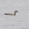 Common Loon <br /> Creve Coeur Lake
