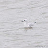 Bonaparte's Gull <br /> Creve Coeur Lake