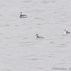 Horned Grebe and Bonaparte's Gull <br /> Creve Coeur Lake