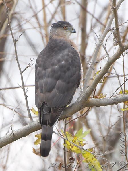 Cooper's Hawk <br /> Columbia Bottom CA