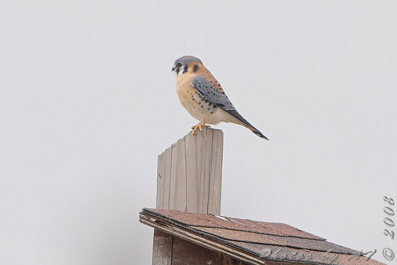 American Kestrel <br /> Columbia Bottom CA