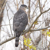Cooper's Hawk <br /> Columbia Bottom CA