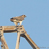 Red-tailed Hawk <br /> Orton Road