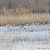 Ducks in Heron Pond <br /> Riverlands Migratory Bird Sanctuary