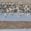 Gulls <br /> Riverlands Migratory Bird Sanctuary