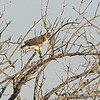 Red-tailed Hawk <br /> Cora Island Road
