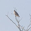 Red-tailed Hawk <br /> hawk a long ways off <br /> Columbia Bottom CA