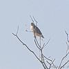 Red-tailed Hawk <br /> hawk a long ways off <br /> Columbia Bottom CA
