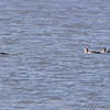 Common Loons Lincoln Shields