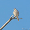 American Kestrel <br /> On same branch as Falcon earlier in the day <br /> Riverlands Migratory Bird Sanctuary