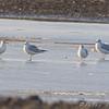 Gulls <br /> Cora Island Road