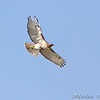 Red-tailed Hawk <br /> Layton Road <br /> Horseshoe Lake and surrounding area