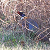 Ring-necked Pheasant <br /> Intersection of Layton and Bend Roads <br /> Horseshoe Lake and surrounding area