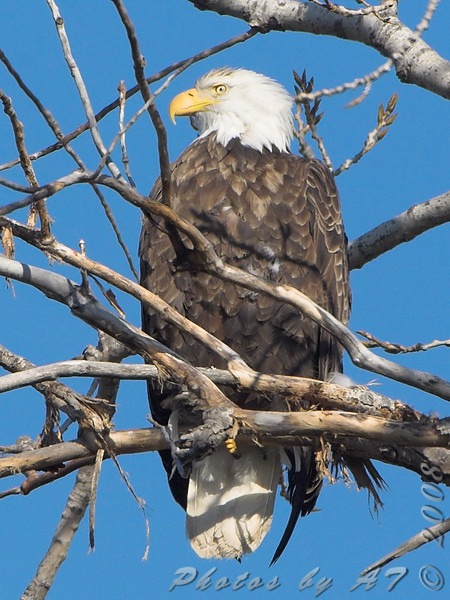 Bald Eagle <br /> Layton Road <br /> Horseshoe Lake and surrounding area
